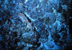 Sea cucumber grazing deep hard bottom off Hawaii. Photo