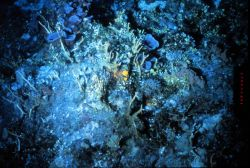 Although there is little light, deep (Greater Than 500 ft) reefs off Hawaii are productive. Image