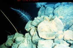 Glass sponge between red crinoid stalk and gorgonian on pillow lava off Hawaii Photo