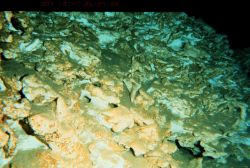 Ancient coral reef below 700 meters of water off Hawaii. Image