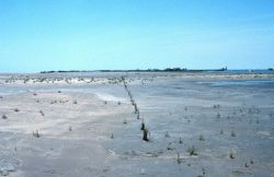 A test planting of smooth cordgrass on the East Timbalier marsh platform Image