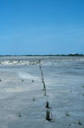 The test planting of Spartina at the East Timbalier marsh platform. Photo