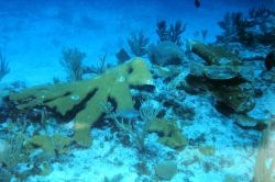 A severed branch of Elkhorn coral at the grounding site. Photo