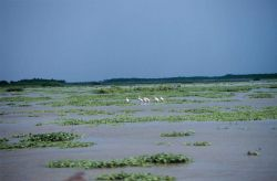Roseate spoonbills wade in the emerging wetlands created by the restoration project at Big Island. Photo