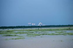 Roseate spoonbills in flight. Photo