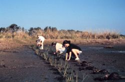Two schools from Hillsborough County plant approximately 8,000 planting units of smooth cordgrass, Spartina alterniflora, at the Cockroach Bay Aquatic Photo