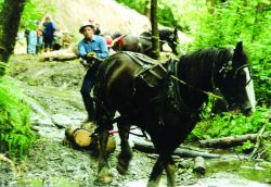 A single draft horse pulls wood to the restoration site at the Glade Bekken watershed. Photo