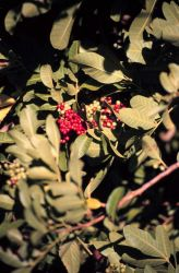 Brazilian Pepper bushes are an ornamental from Brazil that looks like Holly Photo