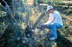 Cutting Brazilian Pepper from mangrove habitat. Photo