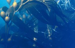 Giant kelp, an important fisheries habitat can grow as much as two feet a day in depths at up to 150 feet. Photo