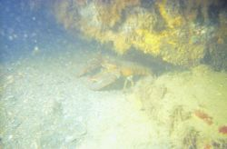 An American lobster (Homarus americanus) in very murky waters. Photo