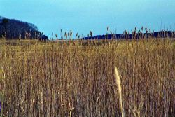 Large stands of Phragmites australis often indicate that salt water flow is restricted in marshes Photo