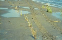 A row of newly planted Spartina alterniflora at the restoration site. Photo