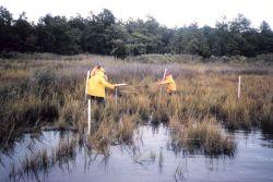 Preparing marsh sites for fyke net sampling at a reference site. Photo