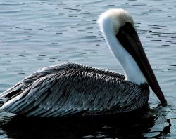 A single Brown Pelican rests on the water in Tampa Bay Photo