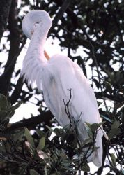 A Great Egret, Casmerodius albus, preens in a tree on an island in Tampa Bay Photo