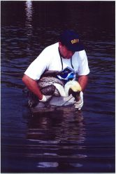 Scott Gudes of NOAA cradles a pelican that was injured when it became entangled in monofilament in its roosting area. Photo