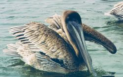 A brown pelican preens in the water. Photo
