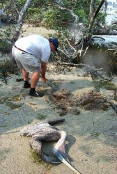 Scott Gudes buries a dead pelican that was removed from the mangroves where it was entangled in discarded monofilament. Photo