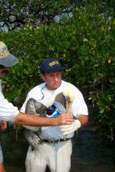 Scott Gudes cradles an injured pelican that was attached to mangroves by monofilament Photo