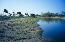 Before planting, some saltmeadow cordgrass, Spartina patens, is seen in the foreground. Photo