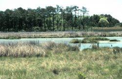 A high-marsh tide pool at Barren Island Photo