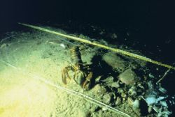 An American lobster, Homarus americanus at the site where cobble reefs were placed to provide habitat in Dutch Harbor. Photo