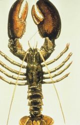 A drawing of an American lobster. Photo