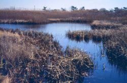 Just upstream of the culvert, on the restricted side of the marsh, showing the remnant healthy side of the marsh, fall or winter. Photo