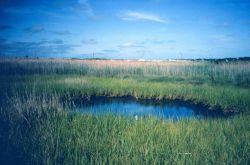 A small tide pool borders the marsh. Image