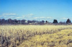 A portion of the marsh dominated by Cattails. Image