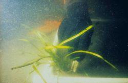 A plug of Zostera marina just before transplanting. Image
