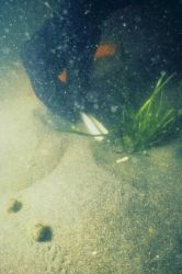 An underwater view of the transplant process. Image