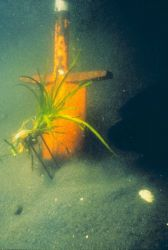 A plug of eelgrass, Zostera marina, shown just before it is transplanted Image