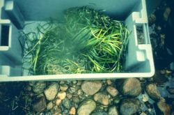 A tray of eelgrass turf and plugs ready for transplant Photo