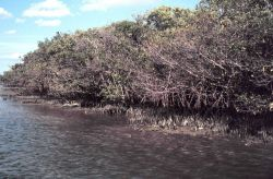 Oiled mangrove habitat near John's Pass, Pinellas County Photo