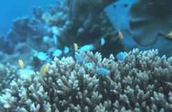 Two types of Chromis sp Photo
