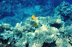 Forcipiger Longirostris is top fish - Foxface rabbitfish (Siganus vulpinis) is bottom fish Photo