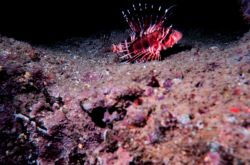 Pterois sphex - Lionfish - Dorsal spines are extremely poisonous Photo