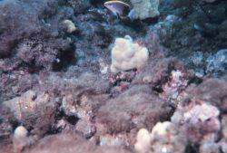 Pomacentrus sp.? Possibly a species of damselfish. Photo
