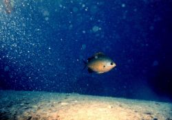Damselfish - Chromis ovalis. Photo
