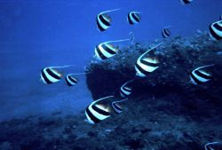 Heniochus acuminatus, a butterfly fish in 110 feet of water Photo
