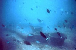 Large school of the surgeon fish, Naso unicornis Photo