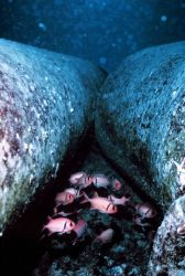 Marine snow, detrital/particulate matter surrounding two adjacent pipes on reef Photo