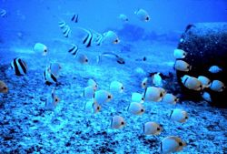 Mixed school of butterfly fishes, Chaetodon miliaris, Heniochus acuminatus. Photo