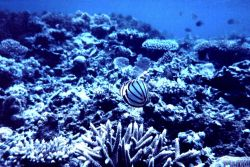 Chaetodon ornatissimus, butterfly fish, on natural reef area . Photo