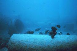 A mixed school of surgeon fish grazing on algae during the time when filamentous algae were abundant Image