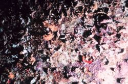 A typical invertebrate grouping found on the interior roof of the pipes consisting primarily of bryozoa, tunicates and sponges over the top of oyster  Image