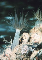 Anemones Image