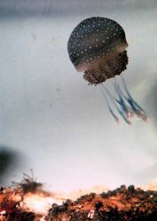 Jellyfish Photo